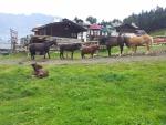 Koně, poník a oslík v okolí stanice Bormio 2000