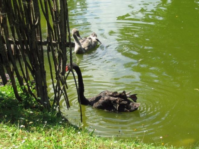 Dokonce i černé labutě tu mají.