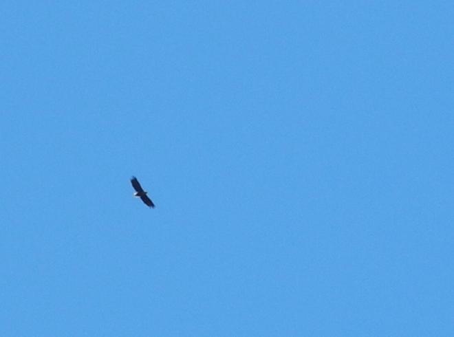 Zato nad námi létajícího orla mořského jsem naopak co nejvíc přiblížil.