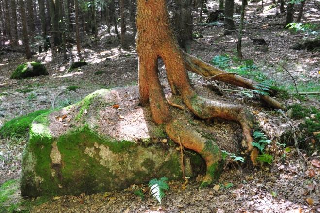 Chůdovitý strom.