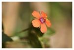 V obilných lánech roste jen jako plevel a přesto je krásný...