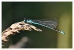 Lehká jako vánek je malá šídlatka páskovaná volně poletující nad břehem potoka...
