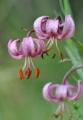 Chráněná, vzácná i krásná je ozdoba mýtin a okrajů lesů lilie zlatohlavá...