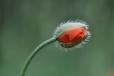 Šaty rudé ukrývá jedna z nejzářivějších krasavic horké letní louky...