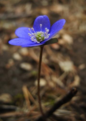 Dříve než se stačí les na jaře zazelenat upoutá všechny zraky jas blankytu jaterníka podléšky.