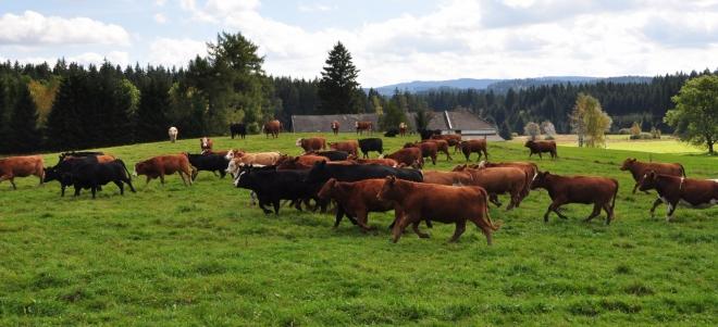 Samoty Jámy hlídá toto stádečko mladých býků. Chovají se zcela jinak než klidné krávy.Celé stádo se rozbíhá najednou až k nám, aby za chvíli zase změnili směr a v klusu zase odbíhá.
