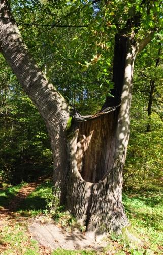 Mnoho stromů je na sklonku svého života.