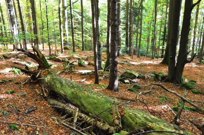 První úsek cesty nad pralesem je nejhezčí. Pod námi je ve starém lesním porostu mnoho mohutných padlých buků.