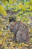V rysím výběhu se daří odclonit rozostřením pletivo, přes které musím fotit. Podzimní barvy rysům sluší.