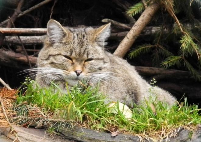 Kočička divoká je od té běžné jen těžko k rozeznání.