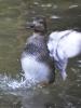 Polák kaholka je jedním z mnoha vodních ptáků, které jsou na několika místech.