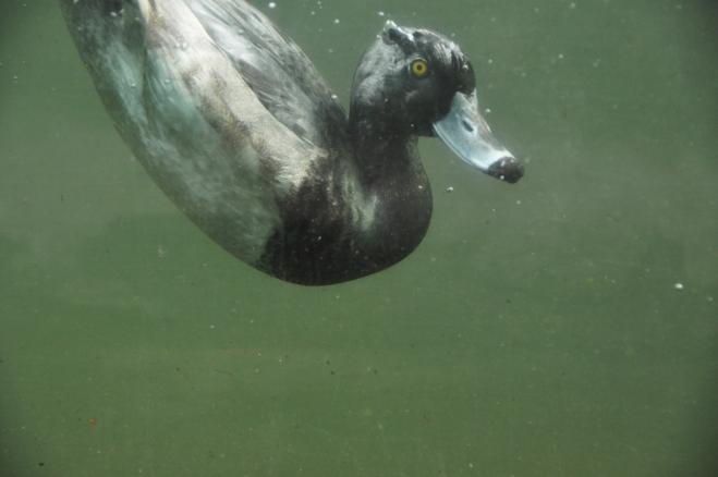 Na jednom z nich můžete pozorovat kachny i při krmení.