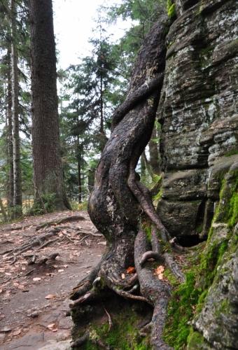Kořen smrku se obtočil kolem skály, aby dosáhl do země na živiny. Tato část stezky je lemována četnými skalami a vede těsně pod srázem vysoké stěny.