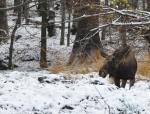 Tam se pohybuje i menší stádo losů a tak doufám, že jednou cvaknu i je.