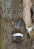 Opět začínáme v ptačí říši. Brhlík je jediným ptáčkem, který dovede lézt po stromech hlavou dolů.