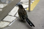California, Death Valley, Badwater - před nákupním centrem, nevím, co je to za ptáka