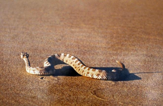 California, Death Valley, Mesquite Sand Dunes - chřestýš, bohužel jen z informační cedule