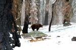 California, Sequoia National Park - mladý medvěd grizzly, volně žijící jedinec, obojek znamená, že jde o sledovaný kus
