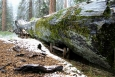 California, Sequoia National Park - Fallen Monarch v plné kráse