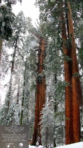 California, Sequoia National Park - král všech stromů General Sherman - vertikální panoráma