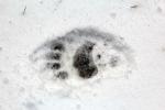 California, Sequoia National Park - medvědí stopa
