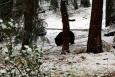 California, Sequoia National Park - medvěd baribal