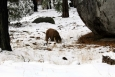 California, Sequoia National Park - mladý grizzly