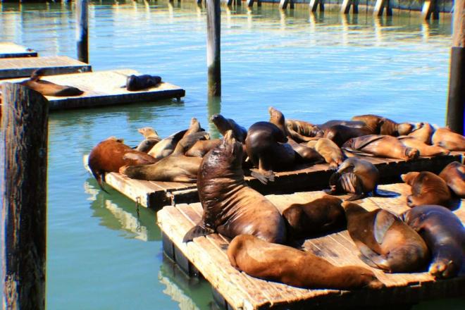 California, San Francisco - kolonie lvounů v přístavu