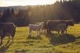 Švajglova blata - skot v protisvětle