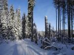 Kolem cesty jsou nebezpečné uschlé smrky průběžně odstraňovány. Přesto nás obrázek lámajícího se stromu upozorňuje na možné nebezpečí.