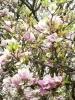 Rozkvetlé magnolie