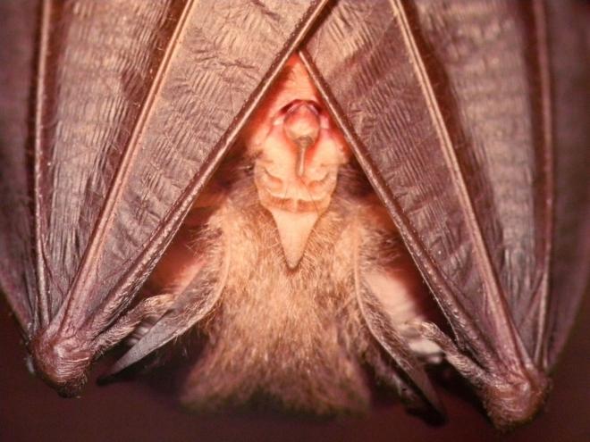 Hned vprvních dnech po porodu matky berou mláďata přisátá k prsní bradavce sebou na lov. Později je nechávají v úkrytu a vracejí se jen několikrát během noci, aby je nakojily. Toto období je pro netopýry velmi náročné, matky prakticky neodpočívají, protože když nakojí mláďata, musí je zahřívat, protože ta ještě nedovedou aktívně regulovat svoji tělesnou teplotu. Než na konci léta opustí mláďata mateřskou kolonii, musí se od matek naučit kde a jak se ukrývat během dne a jaký  hmyz lovit.