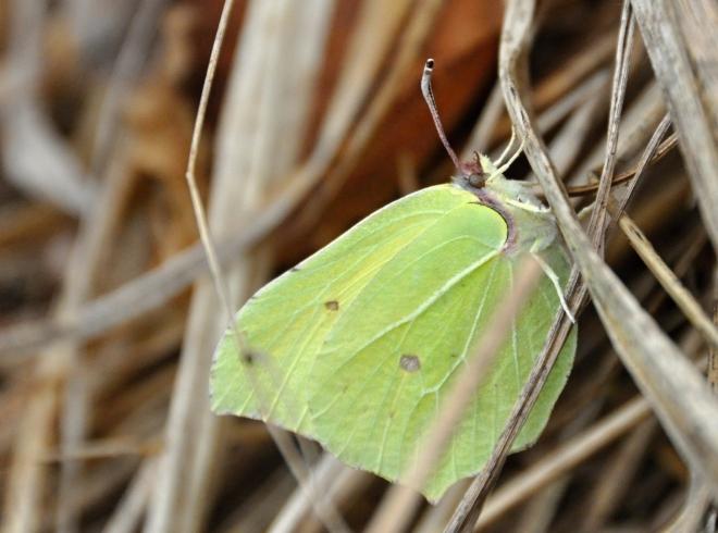 Žluťásci jsou vždy mezi prvními motýli poletujícími ve vyhřátých místech lesa a na mýtinách.