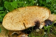 Orlík - detail houby, pro porovnání velikosti je vyfotografován s dvacetikorunou