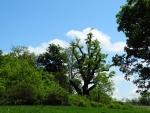 Tento ořezaný strom už jste tu mohli jednou vidět. Před třemi týdny byl ještě bez listí. Zajímavé srovnání...
