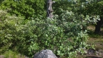 kvetoucí jeřáb muk ... jeřáb muk (Sorbus aria), je větší keř nebo strom dosahující výšky až 14 metrů ... v Česku docela vzácný ...