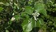 květ jeřábu muku ... daří se mu především na vápencích a zásaditých vyvřelinách, je to teplomilná a světlomilná dřevina odolná vůči suchu ...což zde bohatě má ...