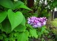 Květy šeříků mají letos díky chladnému počasí asi trochu zpoždění, možná ale ve výšce 570 m kvetou začátkem června běžně.