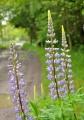 Květenství vlčího bobu může být až 60 cm dlouhé. U cest a hrází rybníků se hezky vyjímá.