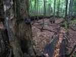 Dole je bukový les pralesového charakteru. Jdeme po hranici přes slatě po povalovém chodníku.
