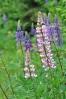 Vlčí bob sice není tak vzácný, ale barevné mutace a bohaté květenství ho činí vděčným objektem k focení.
