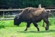 Mladý bizon.