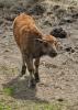 Nejmladší bizon.