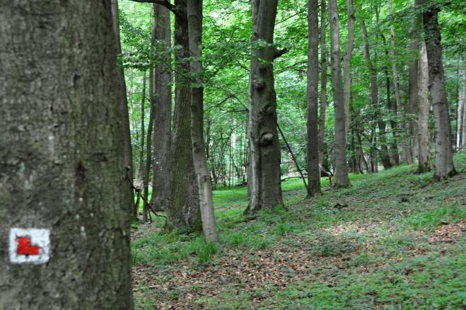 Na Nový Herštejn stoupáme vzrostlým bukovým lesem.