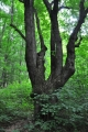 Spletí cest po NS Žďár míjíme mnoho zajímavých stromů a vdechujeme jejich libou vůni.