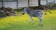 Výstavní zebra :)