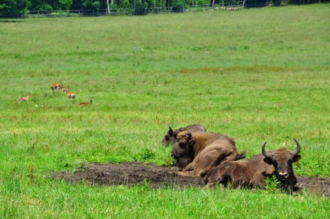 Zubr evropský je vzdálený příbuzný amerického bizona. V minulosti byl téměř vyhuben. Ve volné přírodě žije už jen v hlubokých lesích Bělověžského národního parku u polsko-běloruských hranic.