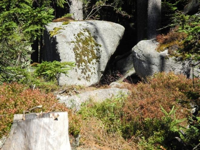 Sucho posledních týdnů odneslo nejvíc borůvčí na kamenech, které uschlo.