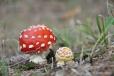 Les pod Gerlovo pasekou skrývá množství červených muchomůrek.