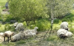 Pod Kvildou se u mladé Vltavy pasou ovce.